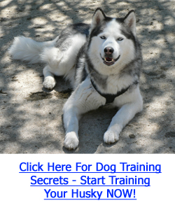 Husky Dog Training