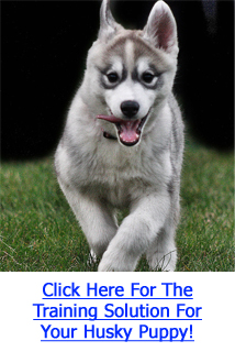 Siberian Husky Puppy Training