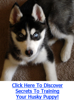 Training Puppies on Training Husky Puppies   Siberian Husky Training